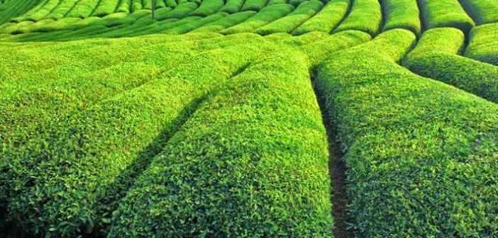 Çay Atıklarından Tekstil Boyası Üretimi